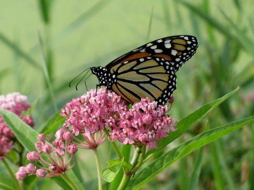 Monarch-web
