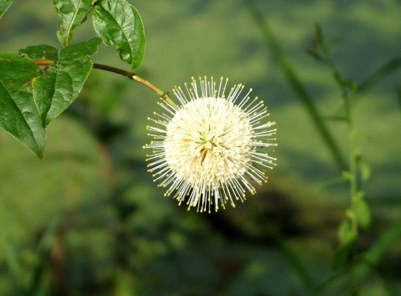 Puffball-flower-lax-web
