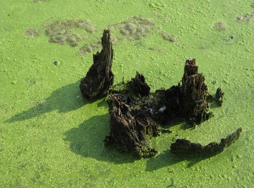 Algae1
