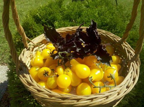 Yellow-tomato-opal-basil